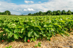 Erdbeerfeld Obstbau Rüdiger