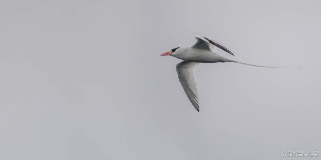 Rotschnabel-Tropikvogel