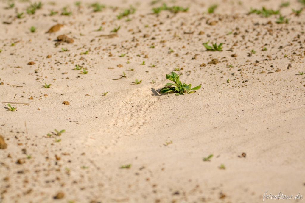 Sandspur eines Schlüpflings aus der Nacht zuvor (Punta Cormorant)