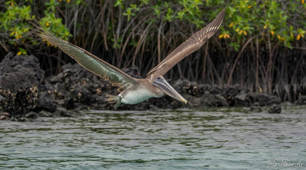 Pelikane waren auf Galapagos allgegenwärtig