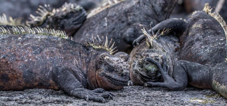 Ecuador | Galapagos · Isabela & Fernandina IV