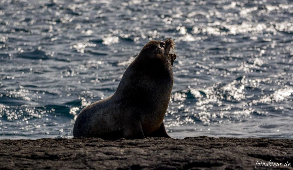 Galapagos-Seebär