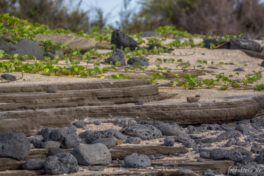 Lavagestein und Strandwinden bei Puerto Egas