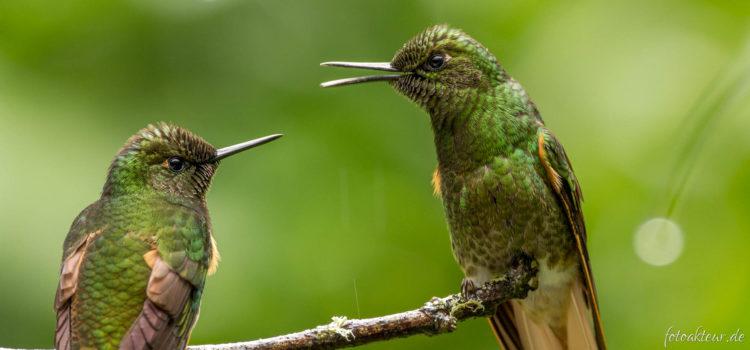 Ecuador | Antisana Reservat & Nebelwald